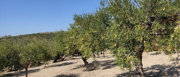 Azienda Agricola Caramella Olio Extravergine di Oliva Oliveto