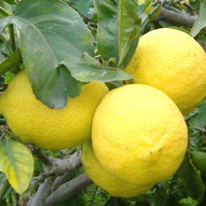 Limoni di Ribera Azienda Agricola Caramella